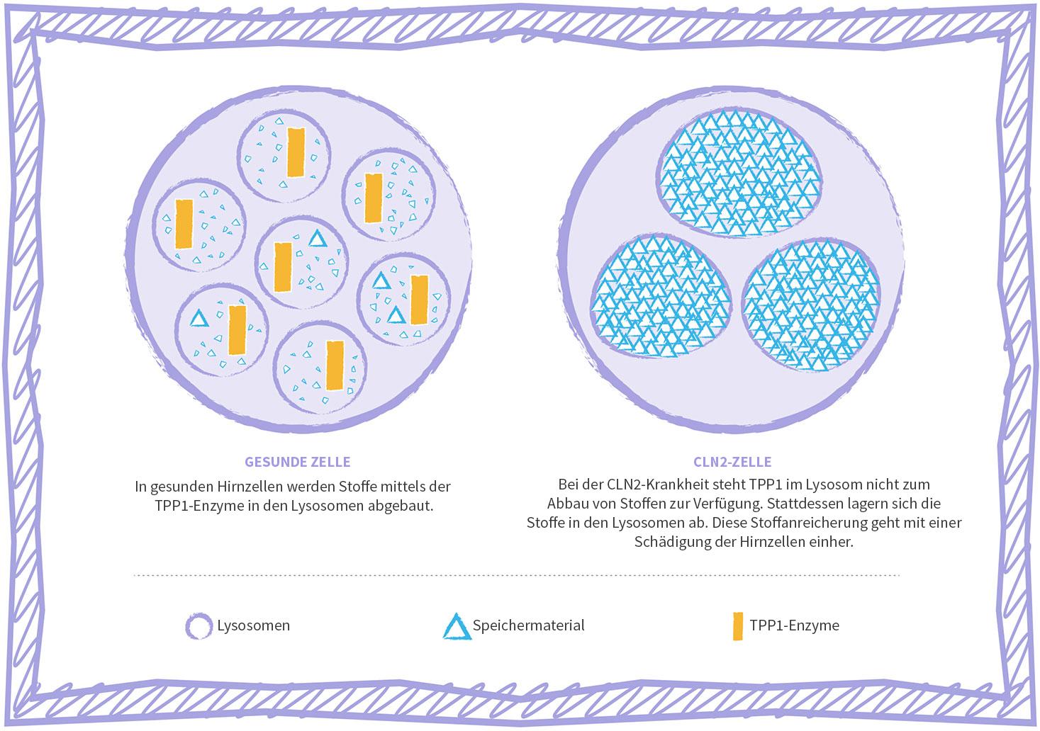 Grafische Darstellung der Zelle bei der lysosomalen Speicherkrankheit CLN2
